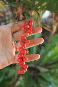 walking stick palm fruits