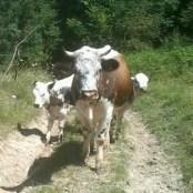 Benoit - Vache