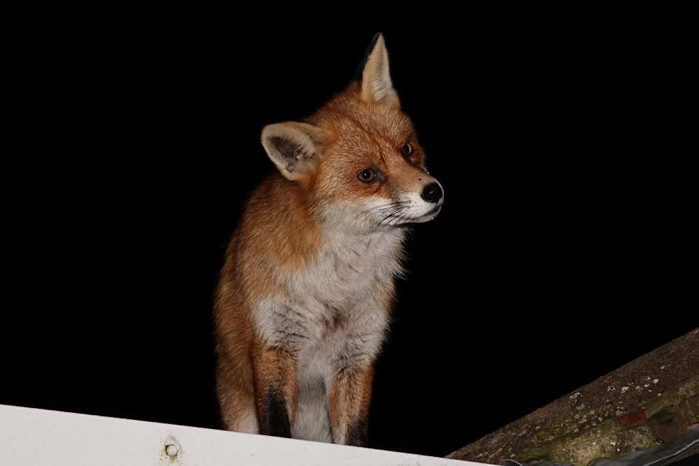 Fox on a roof