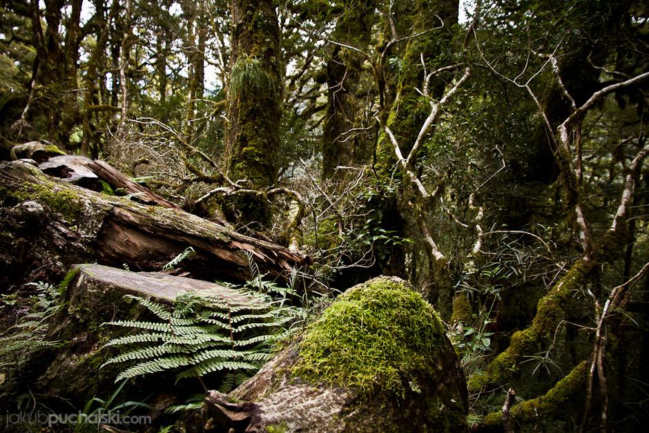 5. NOWA ZELANDIA, Wyspa Południowa, Fiordland. Las na terenie Parku Narodowego Fiordland. Nie spotkaliśmy hobbitów, ale za to natknęliśmy się na mężczyznę z ustrzelonym jeleniem w plecaku. (Fot. Jakub Puchalski)