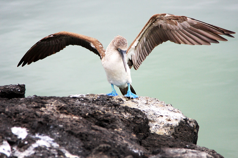 4. GALAPAGOS, plaża Tortuya na wyspie Santa Cruz. Niebieskonogi booby to jeden z wielu niezwykłych gatunków ptaków zamieszkujących archipelag na Oceanie Spokojnym. (Fot. Magda Biskup)