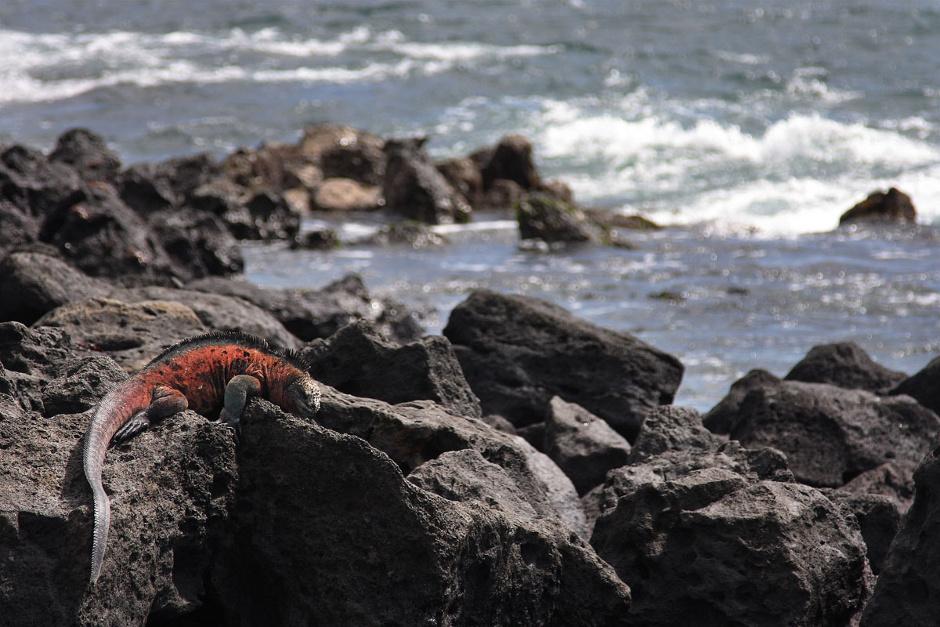 6. GALAPAGOS, wyspa Floreana. Iguany to jedno z najczęściej widywanych na Galapagos zwierząt. Występują one w dwóch wersjach - iguany morskie, które potrafią nurkować, i iguany lądowe, które trzymają się z dala od oceanu. (Fot. Magda Biskup)
