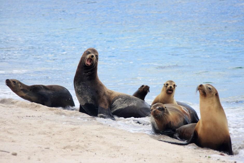 14. GALAPAGOS, plaża La Lobreria na wyspie San Cristobal. Foki to zwierzęta stadne i dlatego bardzo często widuje się je na Galapagos w sporych grupach. (Fot. Magda Biskup)