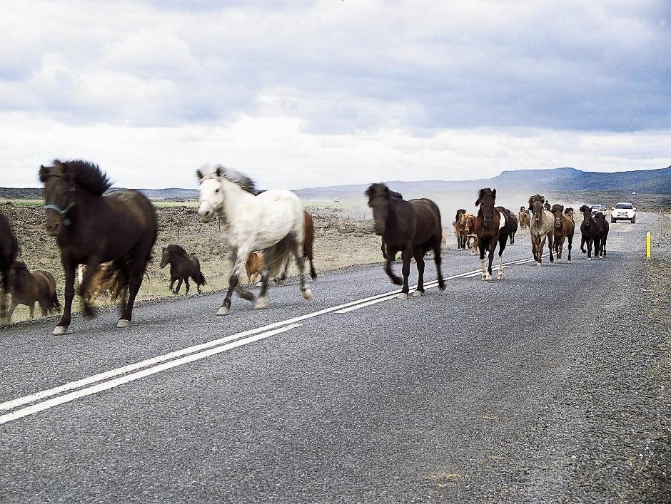 Stado koni na Islandii