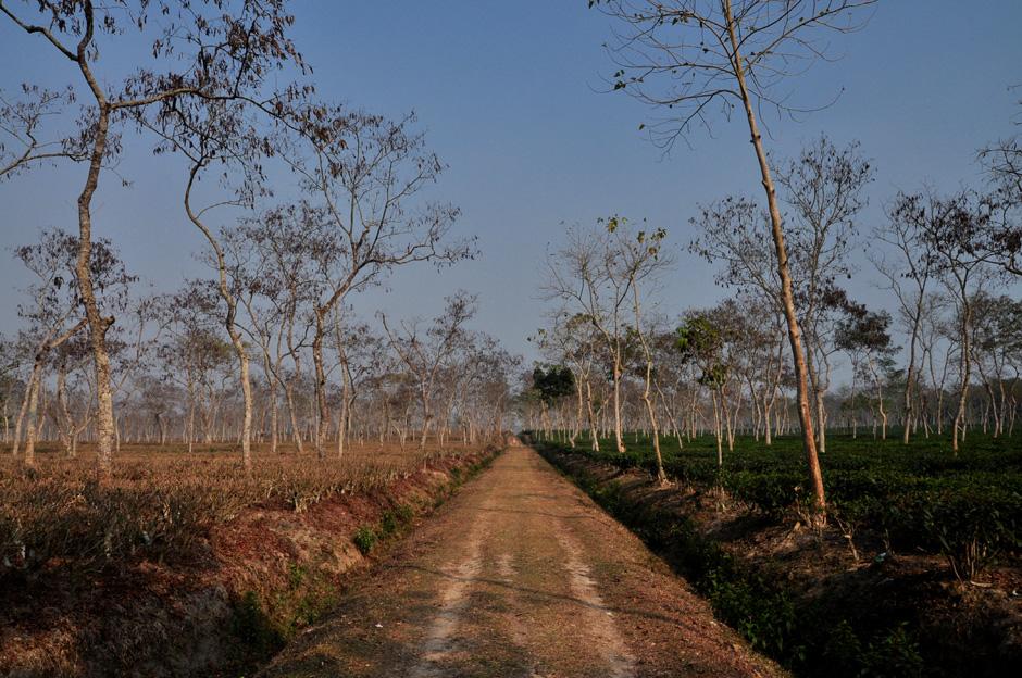 Krzewy herbaty w Azji