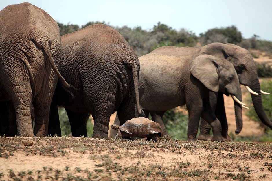 Słonie w Parku Narodowym Addo