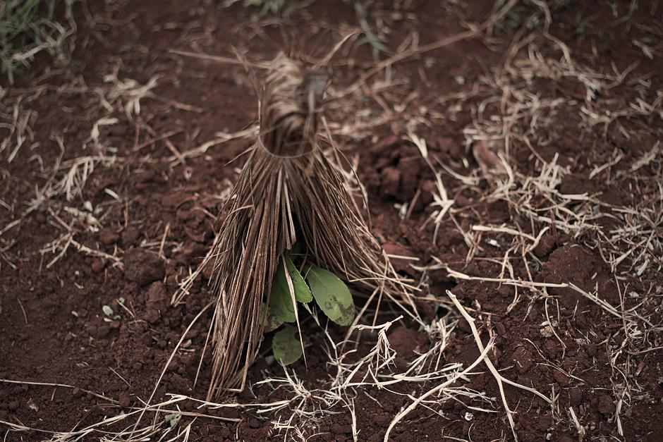Yerba mate po zasadzeniu chroniona jest często wiązką słomy. (Fot. Agnieszka i Mateusz Waligóra)