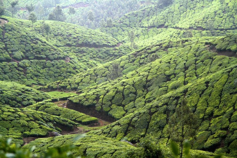 Indyjskie plantacje herbaty
