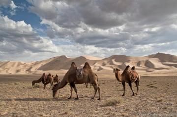 Mongolia. Stado wielbłądów na pustyni Gobi