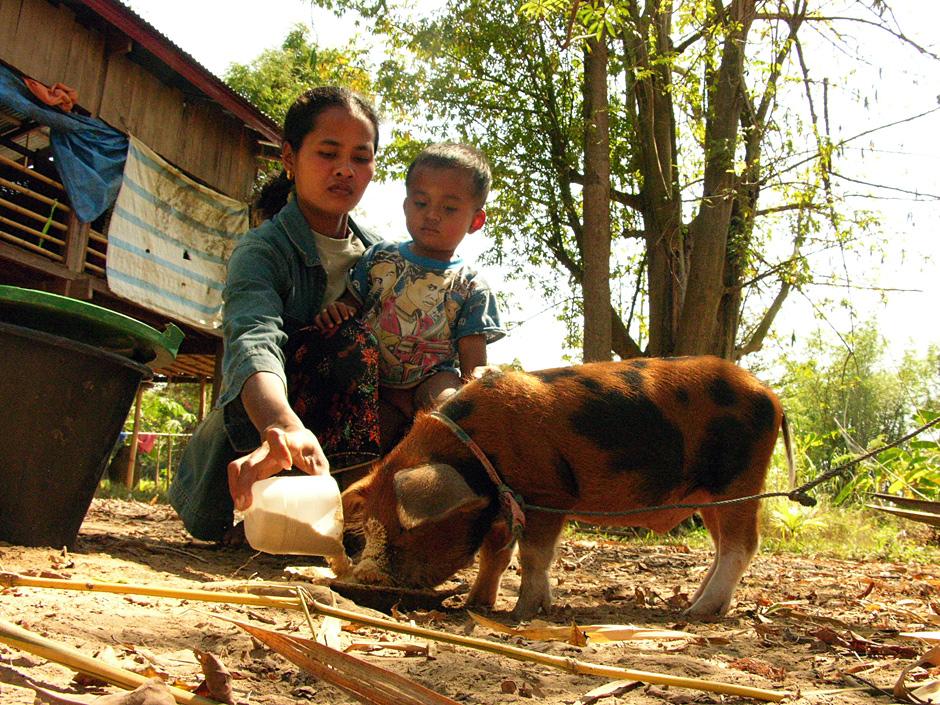 Świnia w Laosie