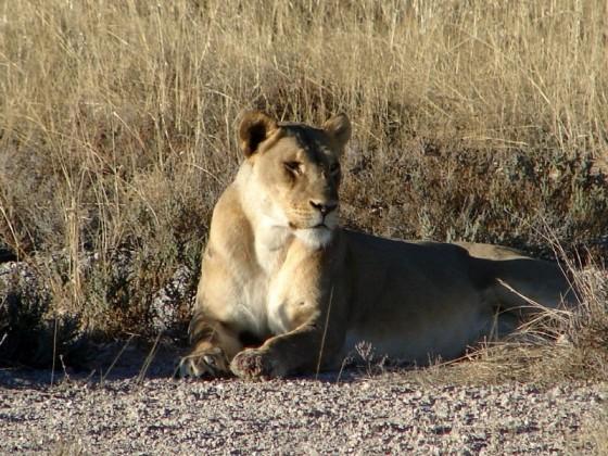 Popularną formą turystyki w Namibii jest safari.