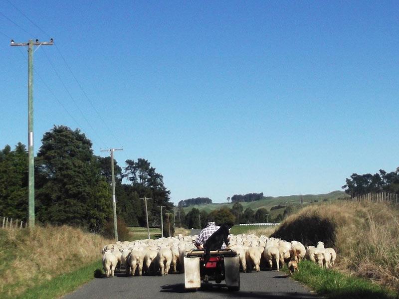 Nowa Zelandia - pasterz owiec