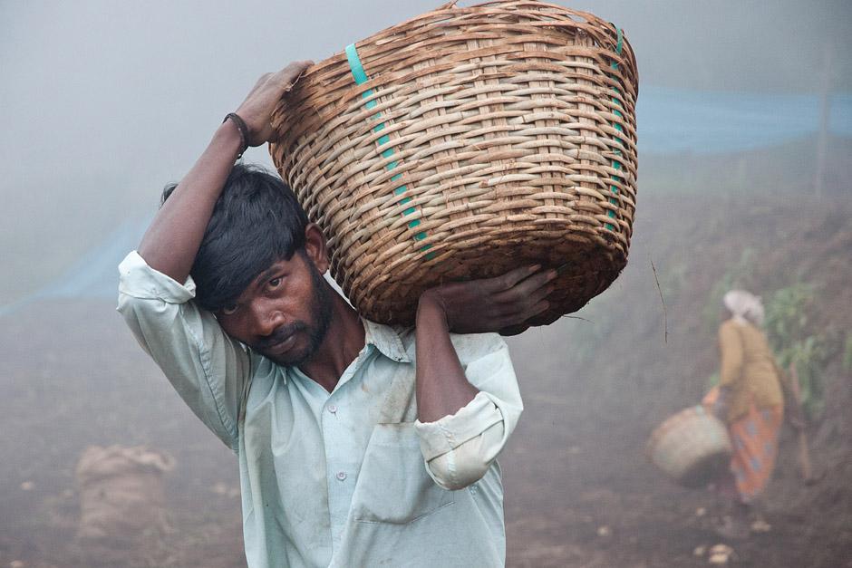 Hinduski rolnik zbiera ziemniaki