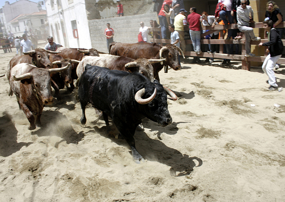 Groźne byki podczas tradycyjnej gonitwy - zdjęcia z Portugalii
