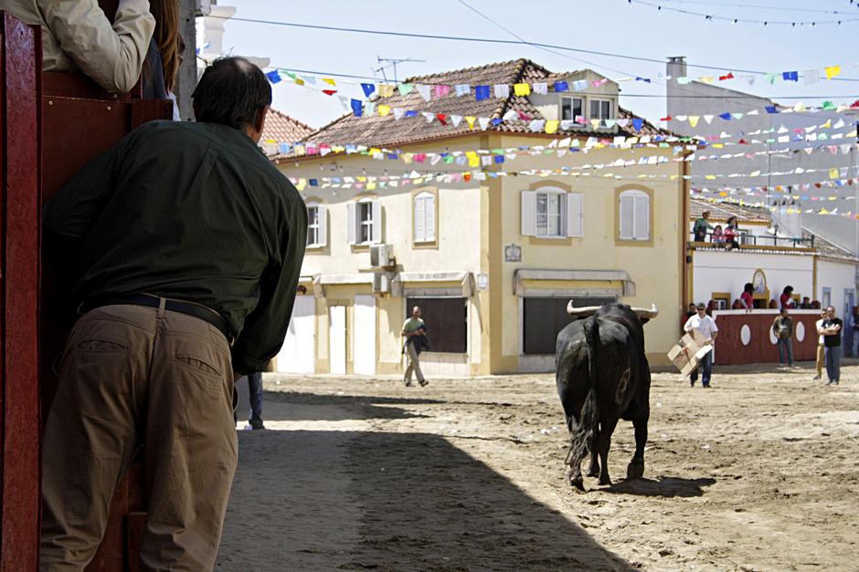 Coroczne święto byków w Portugalii - fotoreportaż