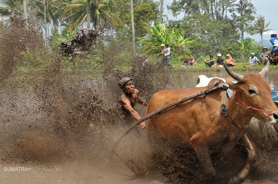 Wyścig byków na Sumatrze