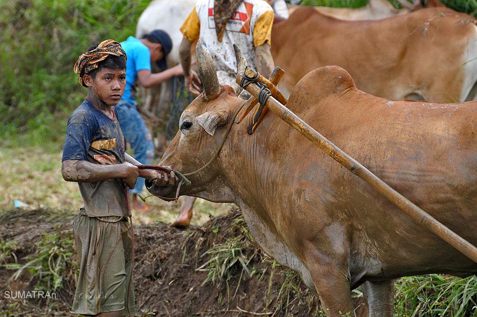 Zawody pacu Jawi w Indonezji