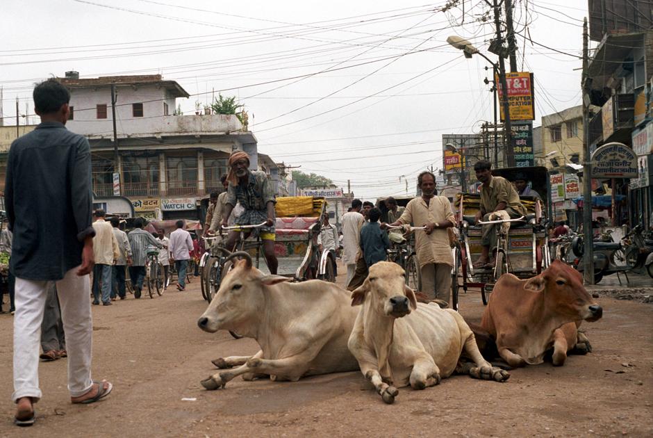 Świete krowy na ulicy w Delhi