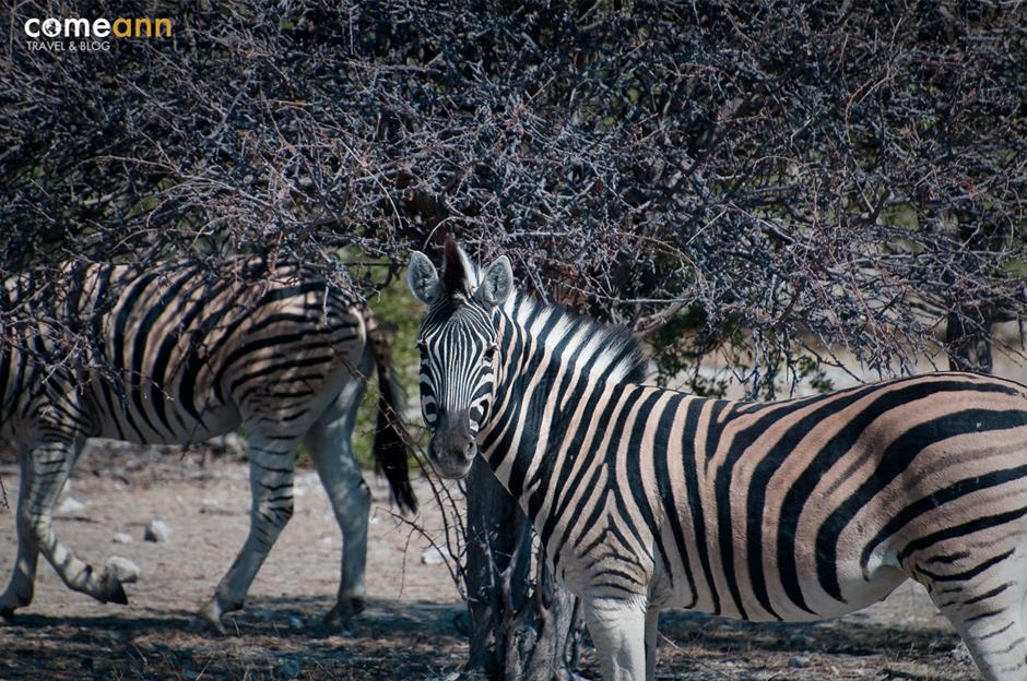 Zebry w parku narodowym w Namibii