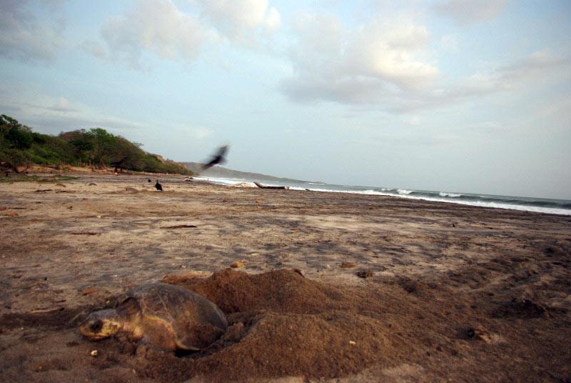 Nikaragua - żółw składający jaja