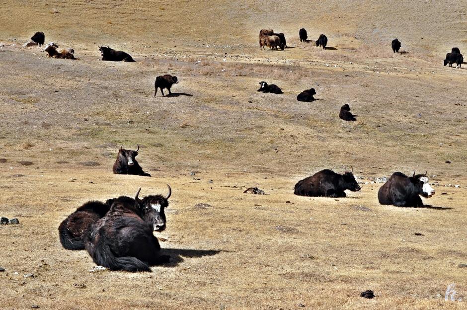 Jaki w górach Kirgistanu - zdjęcie z podróży po Azji