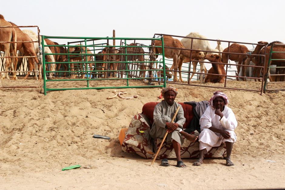 Targ wielbłądów w Kuwejcie