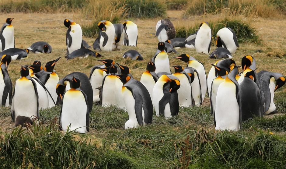 Pingwiny królewskie w Chile