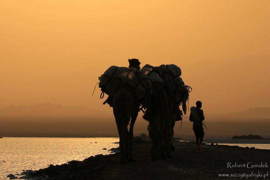 Wielbłądy w Kotlinie Danakilskiej, zdjęcia z podróży do Etiopii