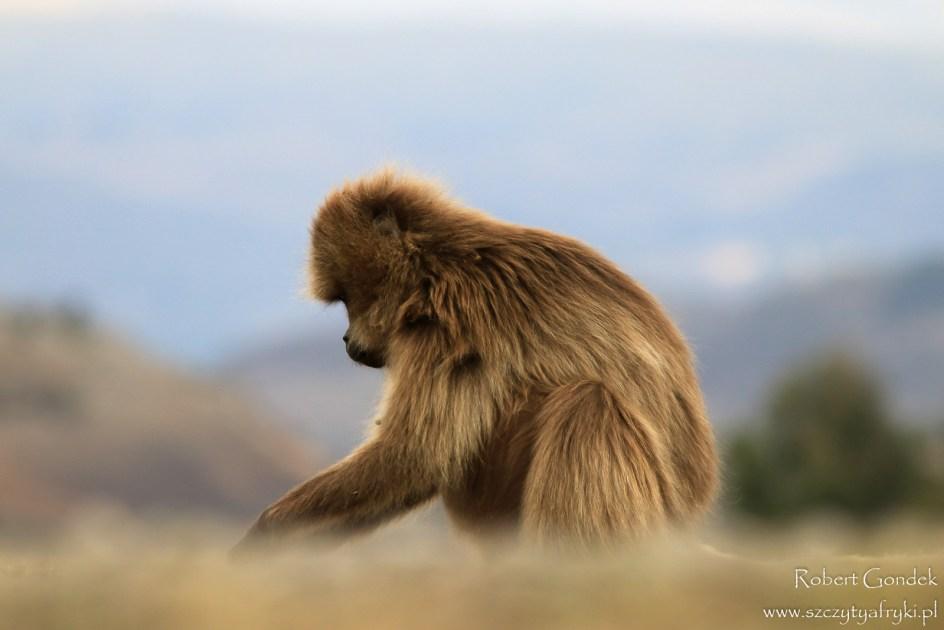 Małpa w Etiopii - foto Robert Gondek