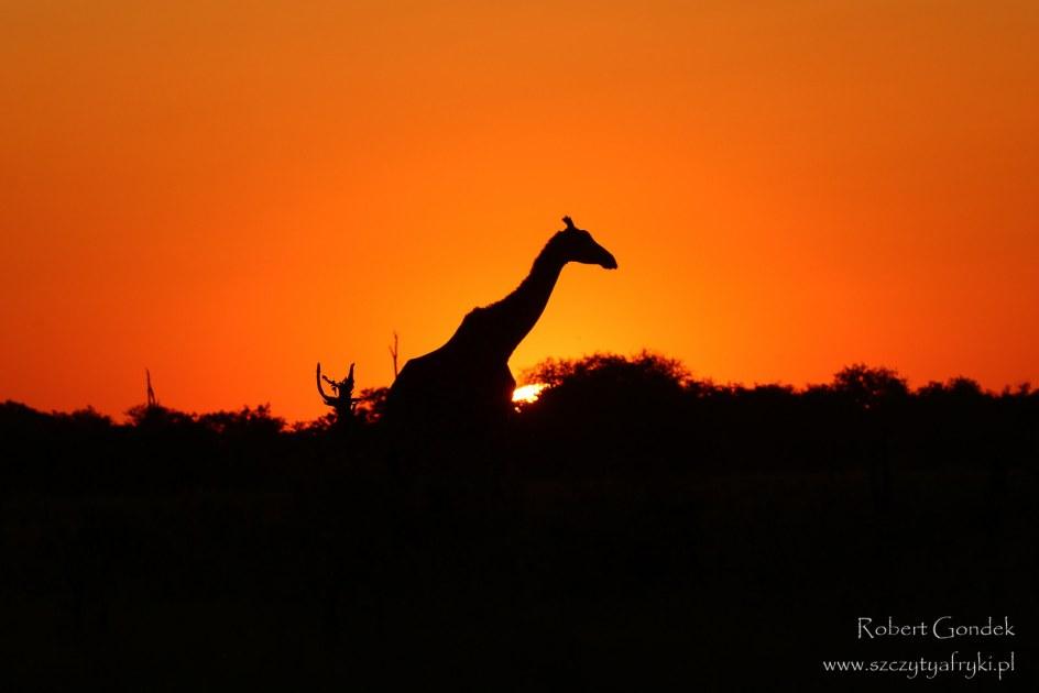 Zwierzęta Afryki. żyrafa w rezerwacie Moremi w Botswanie