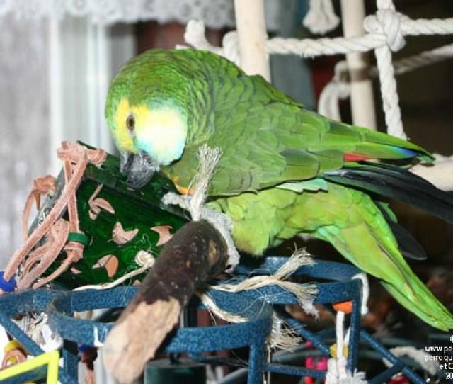 Perroquet Amazona Aestiva Avec Jouet Pour Fourrager