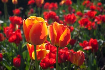 Tulipanes en Estocolmo, Suecia