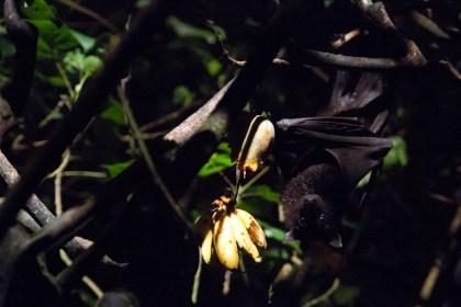 Murciélago de la fruta en el Night Safari, el zoológico nocturno de Singapur