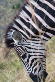 Cebra en la reserva de Hluhluwe-Umfolozi, Sudáfrica