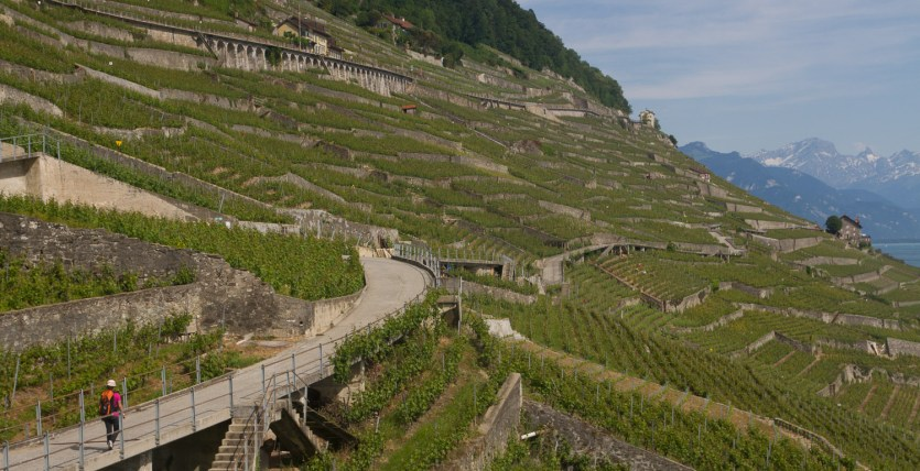 Multitud de terrazas de viñedos en Epesses, Suiza