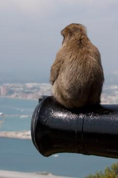 Macaco de Berbería sentado sobre un cañón, Gibraltar