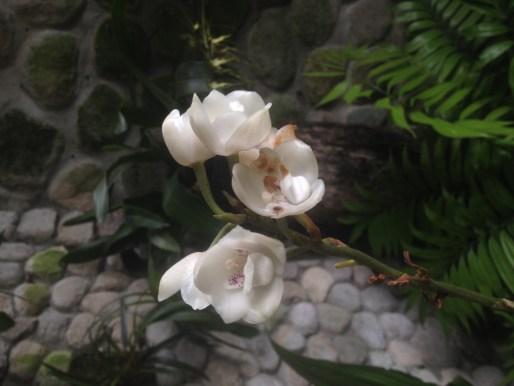 La Flor del Espíritu Santo en el orquideario APROVACA, El Valle de Antón, Panamá
