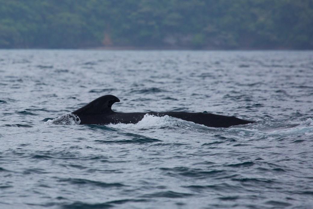 Lomo de una ballena jorobada