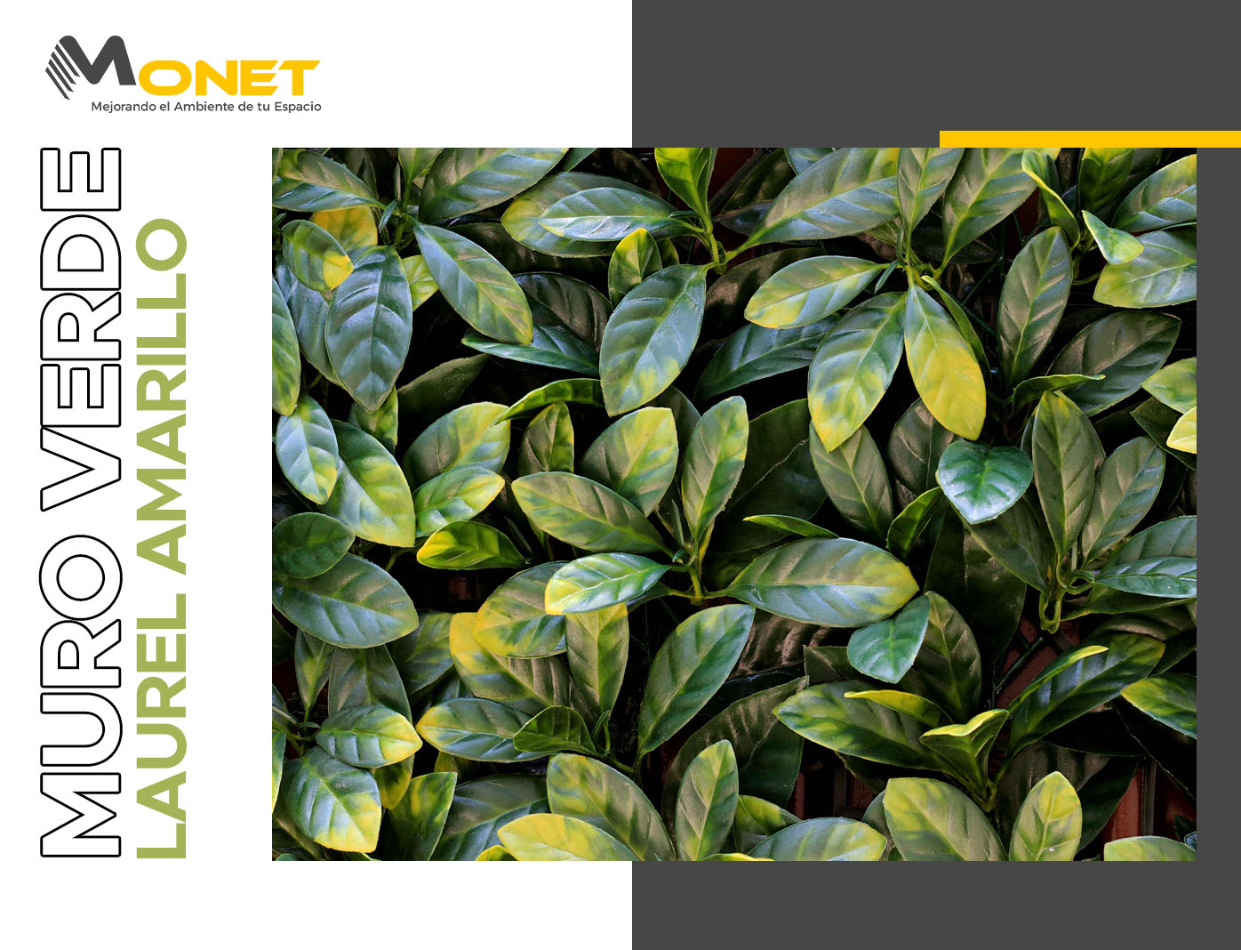 Muro Verde de Laurel Amarillo