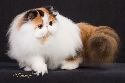 CFA Persian Breed Council Bicolor Division Winners 2011