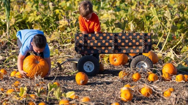 Pumpkin Patch: campi pieni di zucche da raccogliere e decorare