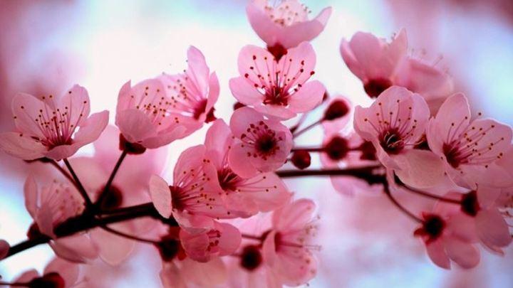 Verso Tokyo 2021: I ciliegi in fiore, tra leggenda e natura
