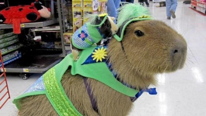 El ronsoco es el nuevo animal de moda en la Internet