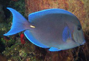 Acanthuridae nombres de peces e imagenes