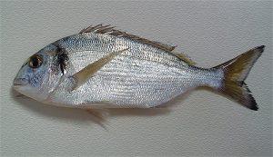 Dorada nombres de peces