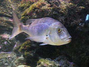 Dentex Dentex nombres de peces y especies de pesca