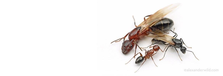 ANTS EXTERMINATOR & CONTROL
