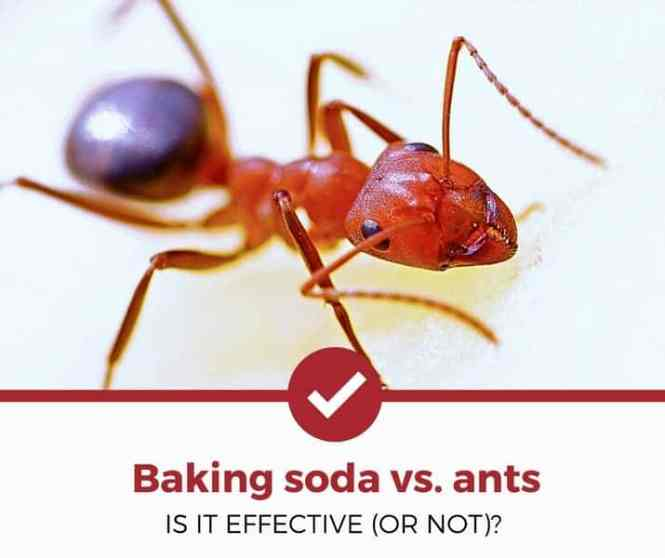 Non Toxic Ant Killer Add Sugar