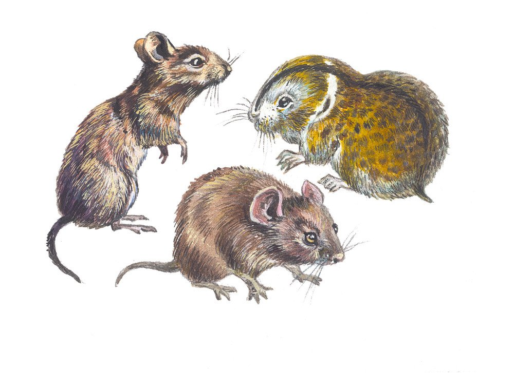 Vole Vs Mole 7 Surprising Differences You May Never Know Pest Wiki