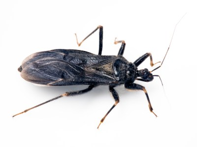 Kissing Bug Pest Profile: Bite & Disease Information